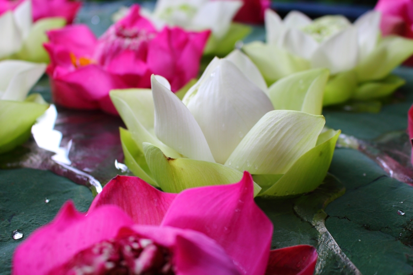 White and Pink Lotus