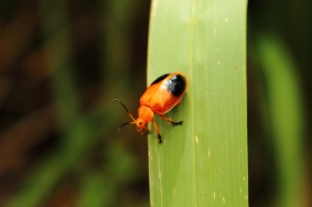 Red Coleoptera